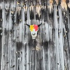 I touched up the paint on the buffalo skull last year and nailed it to the barn.