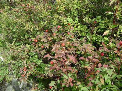 Wild Rosehips
