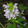 Lamiaceae - <br /> Prunella vulgaris - Heal-all