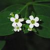 Euphorbiaceae - <br /> Euphorbia corollata - Flowering Spurge
