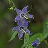Campanulaceae - <br /> Campanulastrum americanum - Tall Bellflower