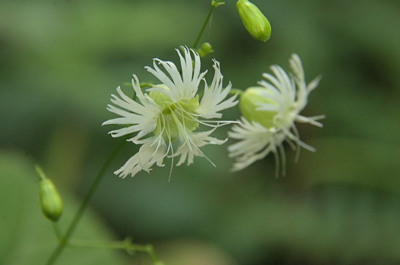 Caryophyllaceae - <br /> Silene stellata - Starry Campion