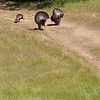 Female turkey egging them on.