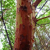Madrone trees are really interesting to look at, especially as big as they were here.