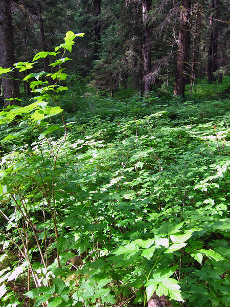 Salmonberry Thicket<br /> It was a thicket just like this in which I lost my SPOT unit, stripped right off the pack.