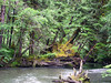 Old Nurse Log<br /> One of the things often missing in a second growth forest are the existence of large downed nurse logs that nurture new trees for up to a hundred years after they've fallen.  Here along the creek one old nurse log remained, supporting a battery of 20-year new growth atop it and helping route the river.