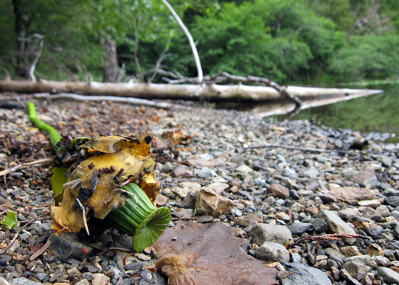 Old Water Lily<br /> Washed ashore.