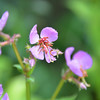 Melastomataceae - <br /> Rhexia mariana - Pale Meadow Beauty