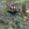 Speyeria diana - Diana Fritillary - Female