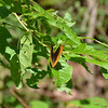 Speyeria diana - Diana Fritillary - Male