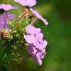 Polemoniaceae - <br /> Phlox