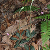 Goodyera pubescens - Downy Rattlesnake Plantain