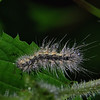 Hyphantria cunea - Fall Webworm