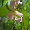 Trillium catesbaei - Catesby's Trillium