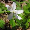 Anemone quinquefolia - Wood Anemone