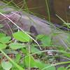 Nerodia - Water snake