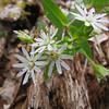 Stellaria pubera - Star Chickwee