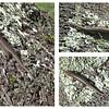 Plestiodon fasciatus - (American) five-lined skink