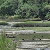 Eudocimus albus - White Ibis