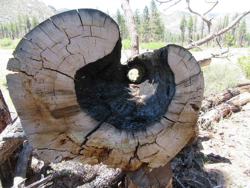 It had become a pretty hollow tree before being felled.