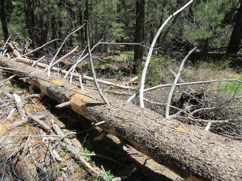 ... after entering the Domeland Wilderness I found this blowdown in the trail.  Although not hard to get around, ...