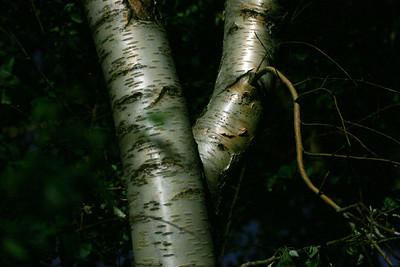 Aspen Tree at McGee Creek.