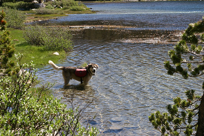 The dog cooling down in the water.