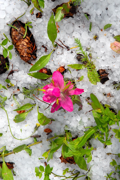 An ordinary flower(paintbrush) never looks so vibrant in color like this after a hail storm.