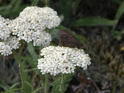 Yarrow, good for tea.