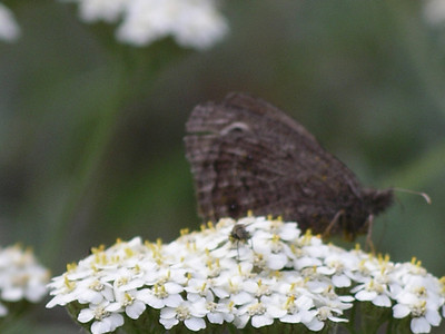 Yarrow, good for tea, may want to get rid of the critters!