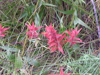 Indian Paint Brush - Edible but usually have to many bugs to be very pleasurable.