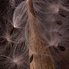 Apocynaceae - <br /> Asclepias incarnata - Swamp Milkweed