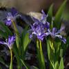 Iris cristata - Crested Dwarf Iris