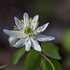 Thalictrum thalictroides - Rue-Anemone