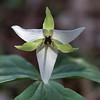 Trillium simile - Sweet White Trillium