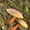 Boletaceae