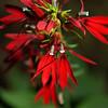 Campanulaceae - <br /> Lobelia cardinalis - Cardinal Flower