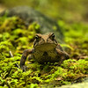 Bufo americanus americanus - Eastern American Toad