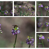 Polygalaceae - <br /> Polygala curtissii - Curtiss Milwort