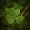 Oxalidaceae -