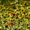 Lamiaceae - <br /> Monarda didyma - Bee-Balm<br /> Rudbeckia laciniata var. humilis - Coneflower