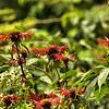 Lamiaceae - <br /> Monarda didyma - Bee Balm