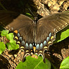 Papilio glaucus - Eastern Tiger Swallowtail - Dark Female