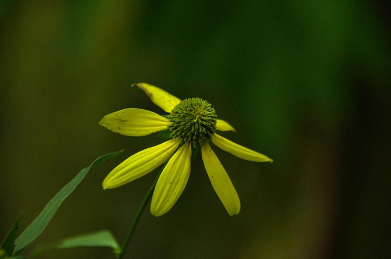Rudbeckia laciniata var. humilis - Coneflower