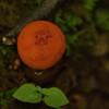 Calostoma Cinnabarinum - Red Aspic-Puffball