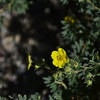 Rosaceae - <br /> Dasiphora fruticosa - Shrubby Cinquefoil