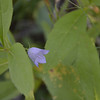 Campanulaceae - <br /> Campanula rotundifolia - Harebell
