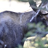 Moose seen across Mokowanis Lake