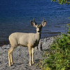 White-tailed Deer at Cosley Lake