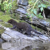 Otter on Belly River